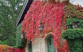 Вьющиеся растения — украшение заборов и стен