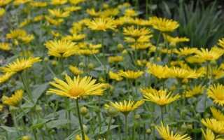 Как вырастить кавказский оазис — весенний цветок для сада