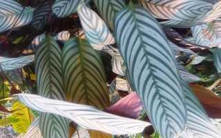 Kalatea — растение в горшке с листьями, как окрашенные
