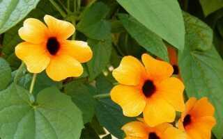 Thunbergia — цветущая лиана на балконе и в саду. Выращивание и уход —