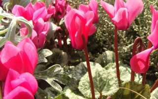 Как выращивать цикламен в саду. «Альпийские фиалки» не только в горшке