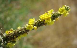 Mullein — травянистое растение со свойствами здоровья