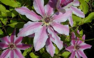 Крупноцветковые клематисы (clematis). Выращивание, уход, обрезка —