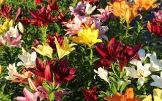 Как выращивать лилии. 10 вещей, о которых нужно заботиться, чтобы иметь красивые лилии