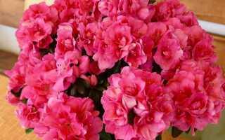 Горшечные азалии — кусты, которые чудесно цветут зимой