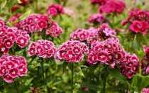 Гвоздики в домашнем саду — какие сорта стоит выращивать