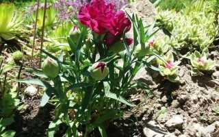 Гвоздики в саду. Какие гвоздики выбрать и как их выращивать