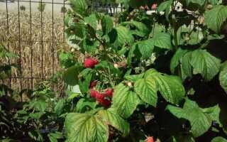 Ягоды на участке — их выращивание и уход