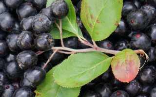 Маринованная черноплодная рябина