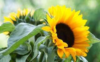 Цветы солнца в саду. Как вырастить обыкновенный подсолнух