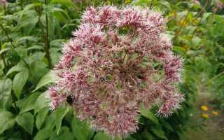 Фиолетовый сеятель — цветущее многолетнее растение с небольшими требованиями. Выращивание и уход —
