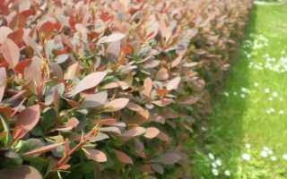 Хеджес: лучшие виды растений для живого забора