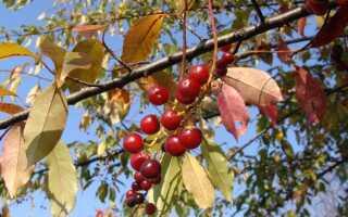 Полезные плоды диких кустарников — идеально подходят для осенних консервов