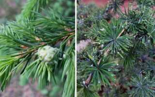 Вредители деревьев — елово-лиственничные охры. Идентификация и искоренение —