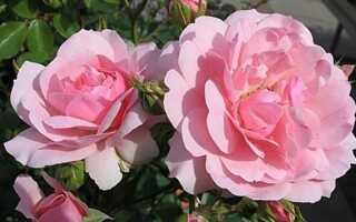 Осенние садовые розы — сорта, выращивание и уход за осенними розами