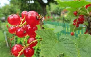Фруктовые кусты — как их выращивать?