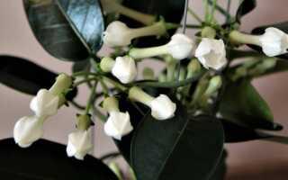 Ароматные цветы в горшках