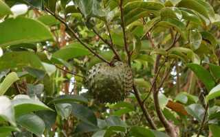 Гравиола — фрукт, который «лечит рак»? Факты и мифы о гравиоле