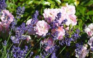 Розы: с какими растениями их сажать, чтобы розы выглядели красиво и хорошо росли