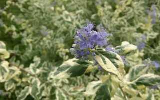 Barbando klandońska — характеристика, выращивание и уход за кустом