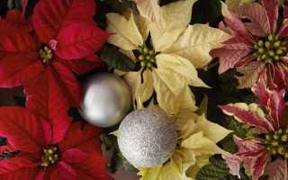 Вифлеемская звезда — не только красное новогоднее украшение