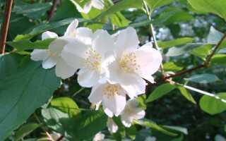 Жасмин в саду — ароматный кустик, который легко выращивать