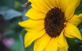 Подсолнечник — свойства, выращивание, раритеты