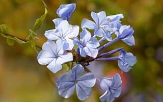 Алтарь — лиана с цветами, похожими на голубые флоксы. Выращивание и уход —