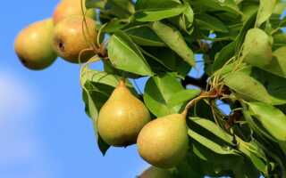 Груши в саду — выращивание, обрезка, удобрение, когда и как сажать груши