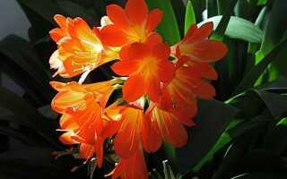 Kliwia — красота в горшке, устойчивая к пренебрежению