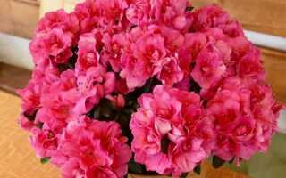 ТОП-5 горшечных растений, цветущих зимой (ФОТО)