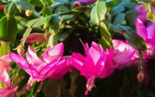 Как выращивать и выращивать пеллету — растение, которое цветет зимой