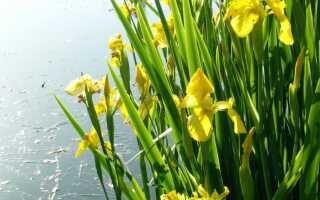 Kosaćce — цветы с бородкой