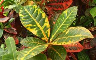 Выращивание кротонов — горшечные растения с разноцветными листьями