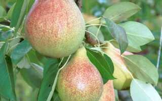 Фруктовые деревья: защитите их от зимы