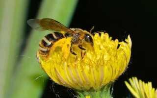 Пщолинка — одинокая пчела, чего ты о ней не знал