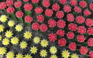 Кактусы с разноцветными головками. Что они и как за ними ухаживать