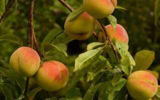 Как вырастить персики в саду