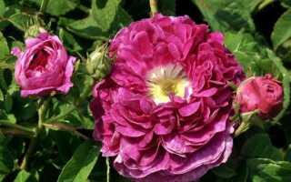 Исторические розы: самые старые сорта этих прекрасных цветов