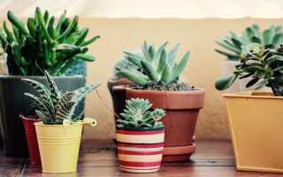 10 суккулентов — растения, о которых можно забыть о поливе