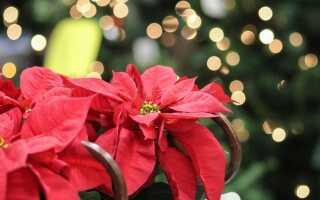 Растения на Рождество. Чем украсить дом