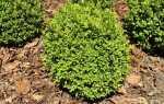 Вечнозеленые самшиты украсят каждый сад