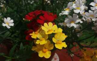 Nemezje — полный очаровательных цветов на балконе и террасе. Как вырастить и вырастить их