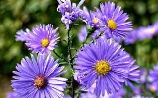 Выращивание астр — осенние цветы