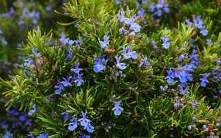 Выращивание розмарина в домашних условиях и саду