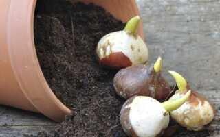 Конец ноября — пора сажать цветочные луковицы