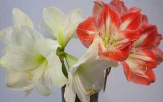 Амариллис — цветок, похожий на красивую женщину. Уход —