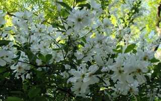 Крупное цветение: цветущий куст для сада. Выращивание, стрижка, уход