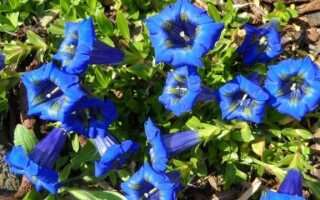 Горечавка — их разновидности и целебные свойства этих растений