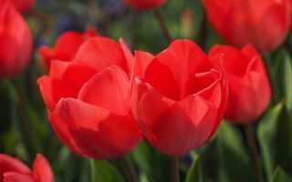 Тюльпаны — луковичные растения. Откройте для себя сорта тюльпанов